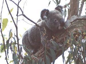 koala01s.jpg