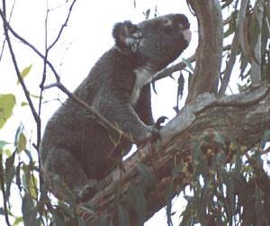 koala02s.jpg