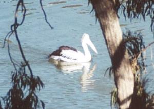 pelican02s.jpg