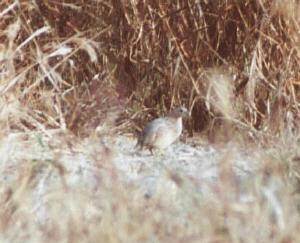 quail01s.jpg